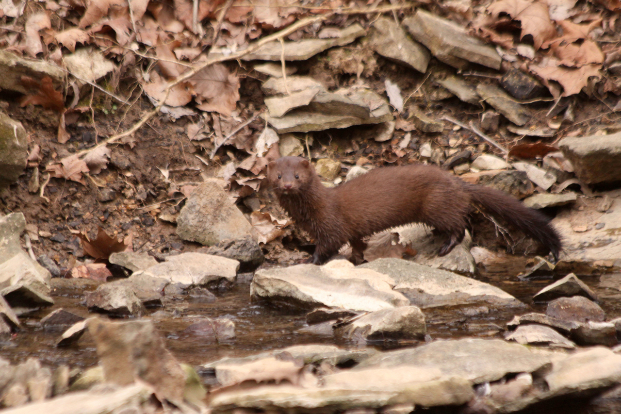 Selected for display. Paul Feldker: Mink at Bond Creek. Monroe County.
