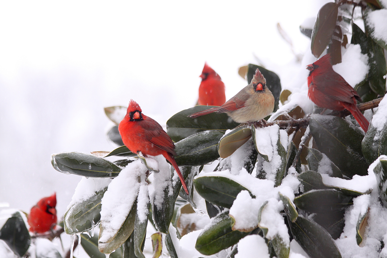 Semi-finalist entry. Paul Feldker: Winter Cardinals. Monroe County.