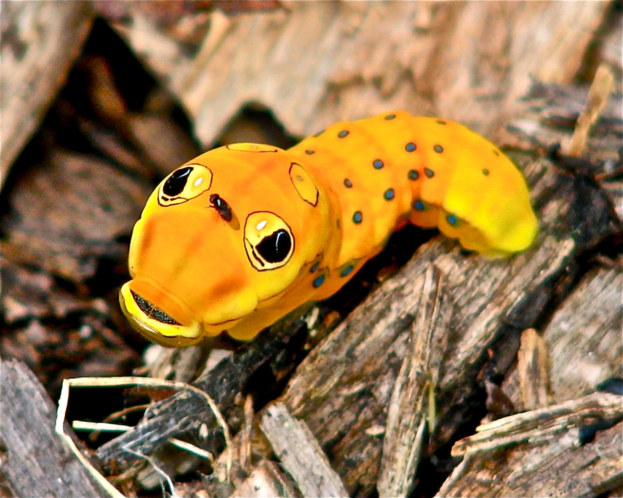 Selected for display. Priscilla Bollinger: Spicebush Swallowtail Butterfly Caterpillar. Randolph County.