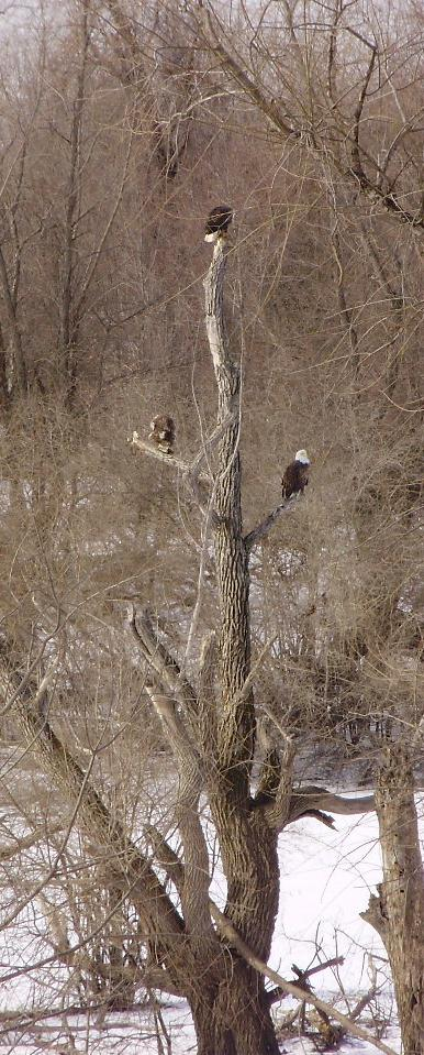 Gail Holzhausen: Eagles Close Up. Monroe County.
