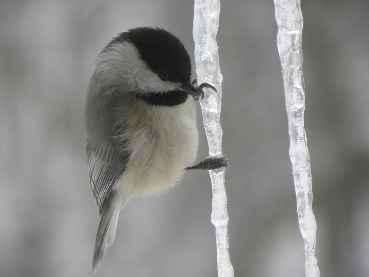 Semi-finalist entry. Justin Polacek: Carolina Chickadee near St. Joe. Monroe County.