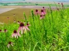 Martin Kemper: American Bottoms and Pale Purple Coneflowers. Monroe County.