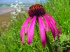 Martin Kemper: Lake Mildred - Pale Purple Coneflower. Monroe County.