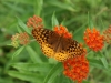 Tim Dever: Fritillary Butterfly and Butterfly Weed. Washington County.