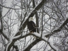 Justin Polacek: Eagle Along VV Road. Monroe County.