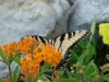 Susan Barker: Tiger Swallowtail Butterfly on Butterfly Weed.
