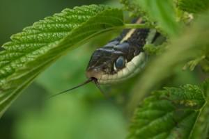 Snake, P. DauBach