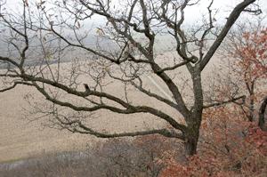 tree at N. prairie edge