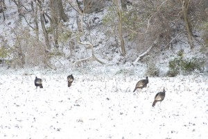 wild turkeys, T. Rollins