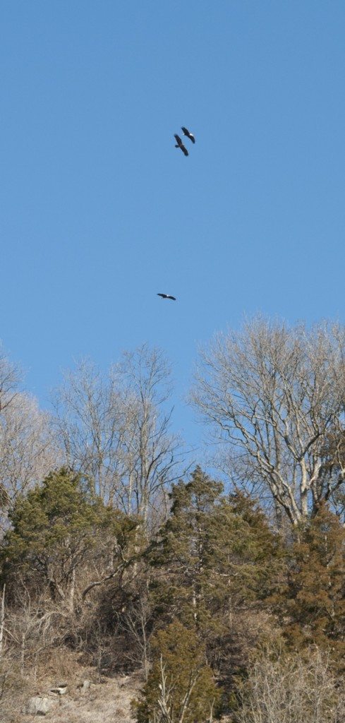 Adult & Immature eagles over Fults N.P., T. Rollins