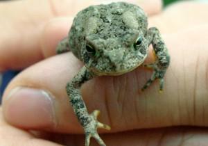 American toad, J. Henderson
