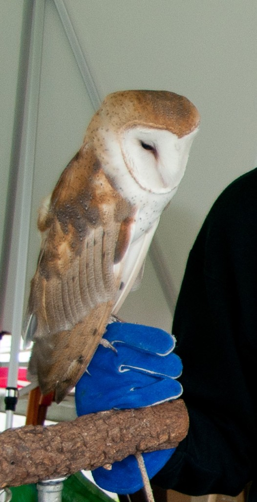 Barn owl on hand, T. Rollins
