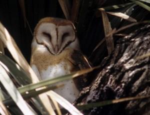Barn owl, A. Viola