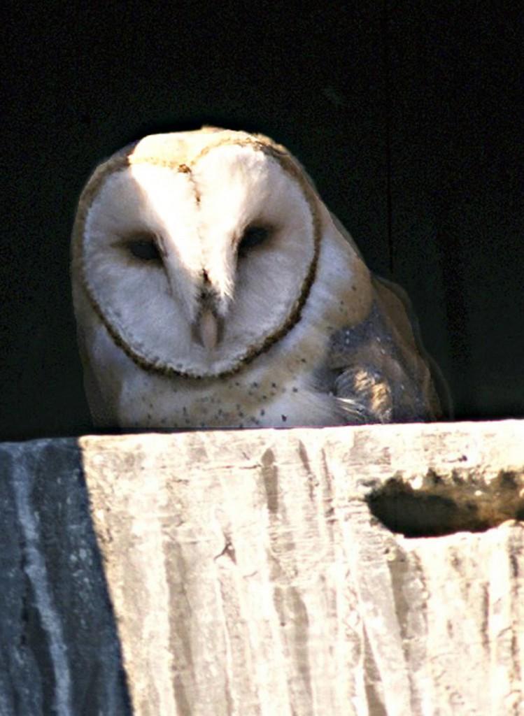 Barn owl, T. Spivey