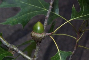 Black oak acorn, P. Wray