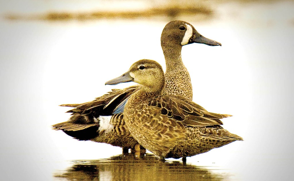 blue-winged teal, T. Rollins