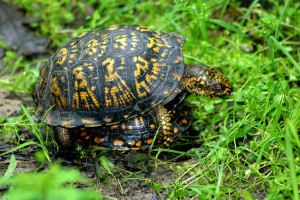 box turtles, P. Feldker