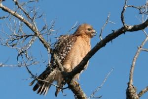 Broadwing hawk, J. Dell