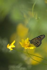 Monarch butterfly, T. Rollins