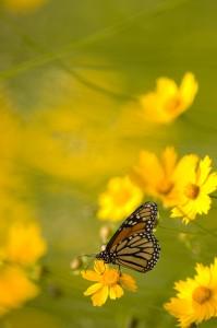 monarch, T. Rollins