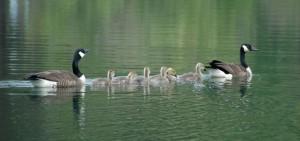 Canada Geese, C. Evans