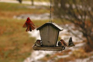 cardinal & finches at feeder, P. Feldker