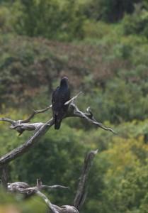 vulture, M. Kemper