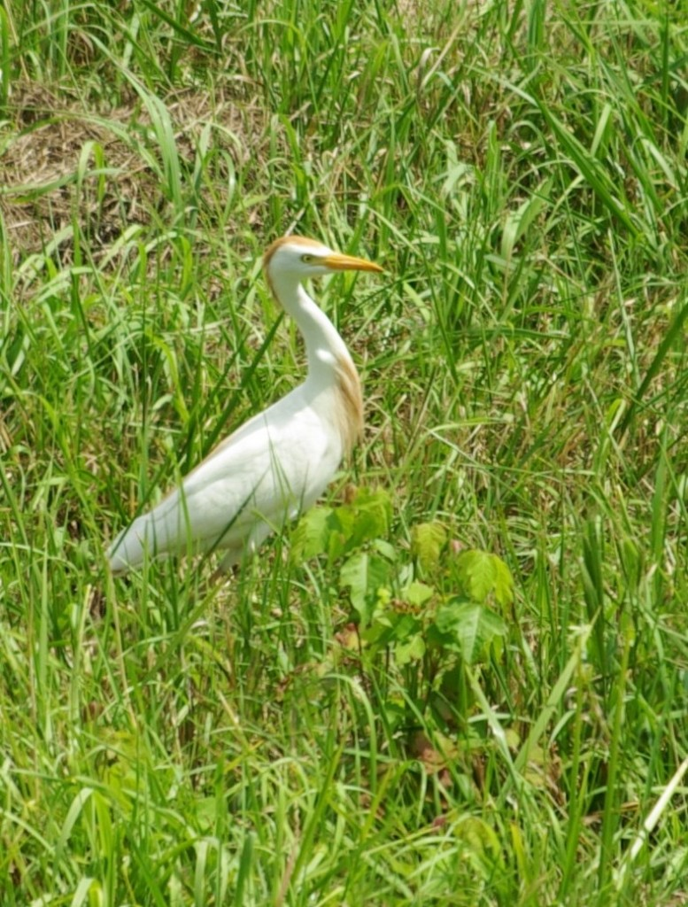 Cattle egret, P. DauBach