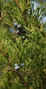 cedar & berries, P. DauBach
