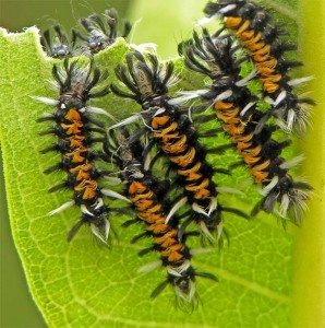 tussock moths, T. Rollins