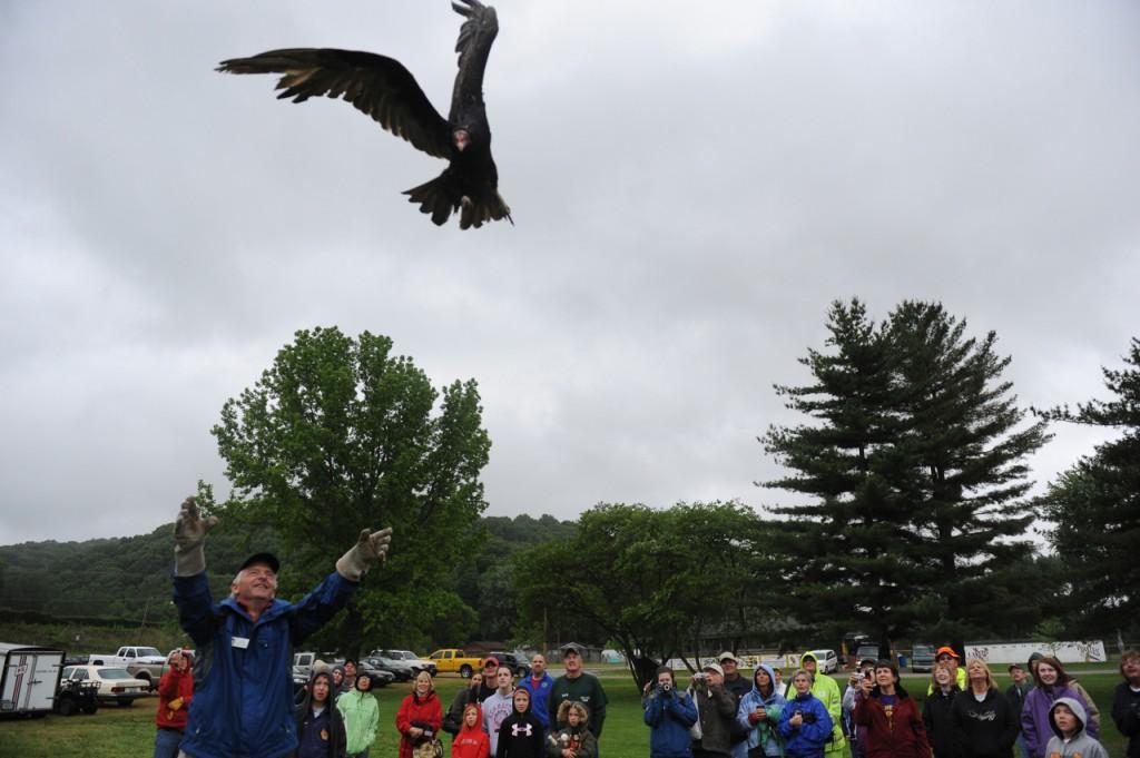 Turkey vulture release, Festival 2011, T. Rollins