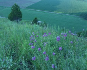 Purple prairie clover, D. FitzWilliam