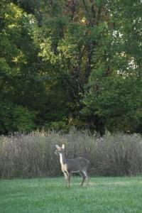 deer, T. Rollins