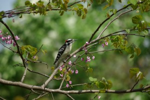 Downy woodpecker, P. DauBach