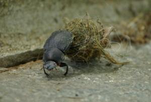 Dung beetle, P. DauBach