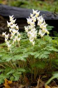 dutchman's breeches, T. Rollins
