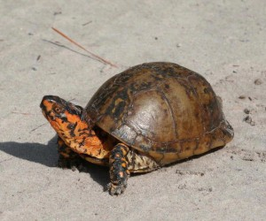 eastern box turtle, J. Dell