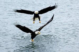 Bald eagles, T. Rollins