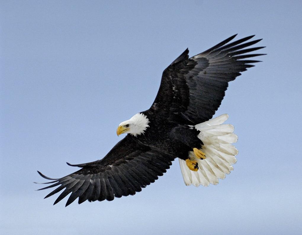 Bald eagle, T. Rollins