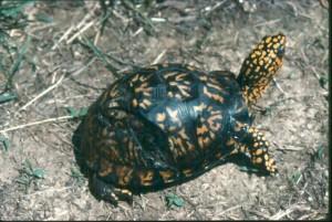 box turtle, S. Ballard