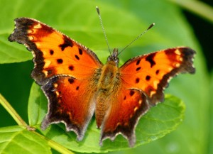 Eastern comma, D. Cappaert