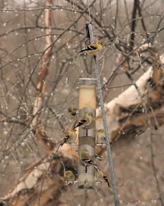 finches at feeder, P. Feldker