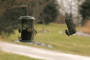 finches and downy woodpecker, P. Feldker