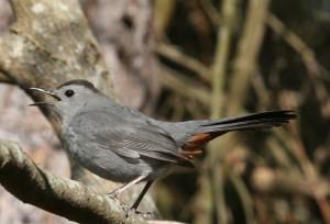 gray cagtbird, J. Dell