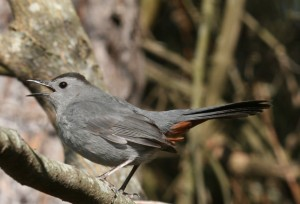 Gray catbird, J. Dell