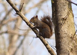 Gray squirrel, P. Feldker