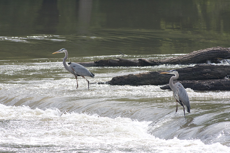 Great Blue Herons, D. Jacobsen