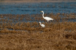 Great and Snowy egrets, T. Rollins