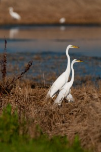 Great egrets, T. Rollins