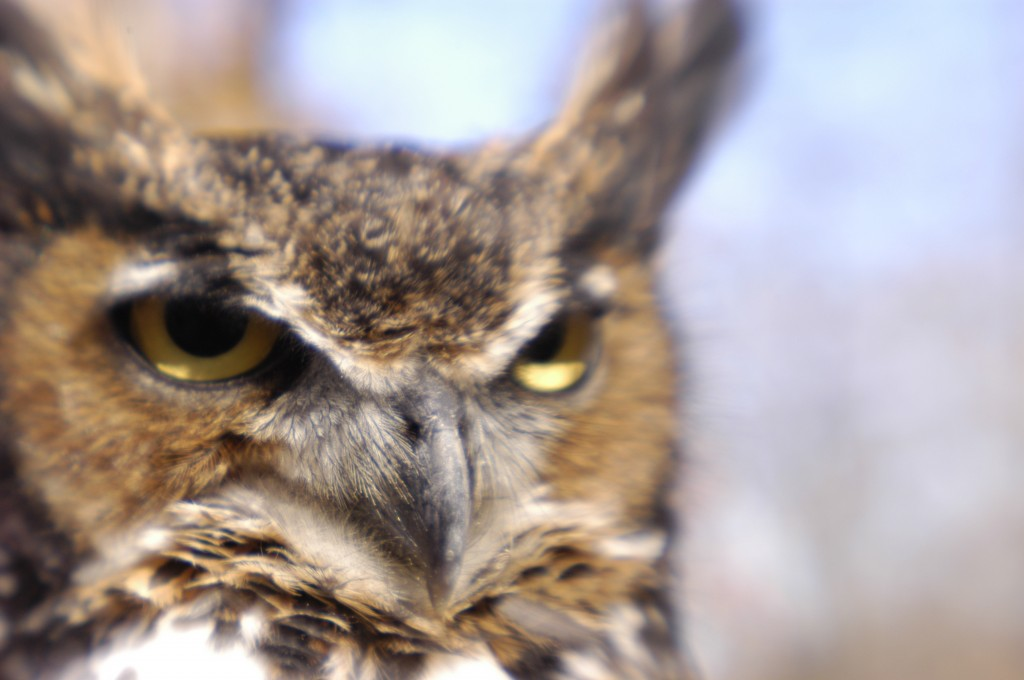 Great Horned Owl, T. Rollins photo